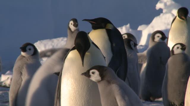 emperor penguins (aptenodytes forsteri), chicks and adult at colony, chick begs, cape washington, antarctica - cape washington stock videos & royalty-free footage