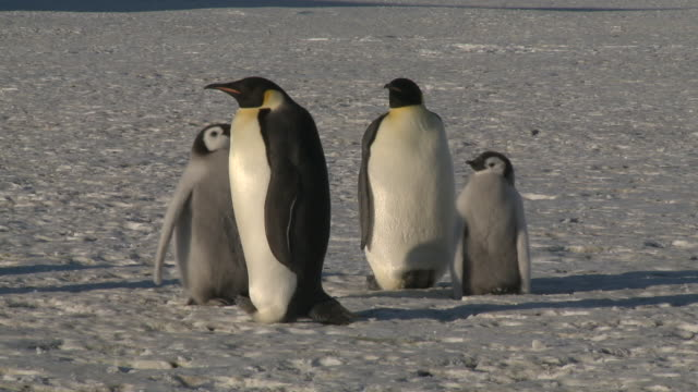 Emperor penguins (Aptenodytes forsteri), chicks and adults at colony, Cape Washington, Antarctica