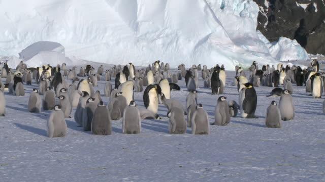 emperor penguins (aptenodytes forsteri), chicks and adults at colony, cape washington, antarctica - colonia di animali video stock e b–roll