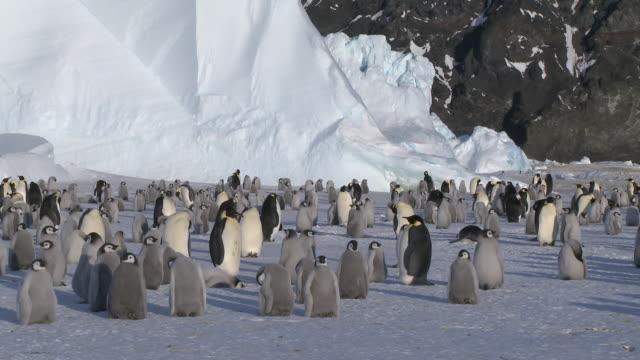 emperor penguins (aptenodytes forsteri), chicks and adults at colony, cape washington, antarctica - cape washington stock videos & royalty-free footage