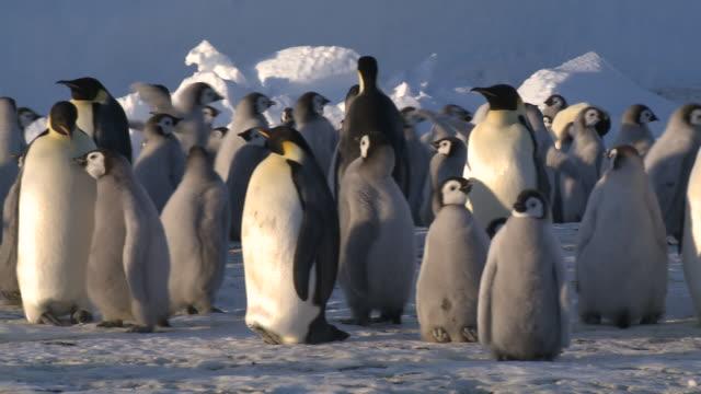 emperor penguins (aptenodytes forsteri), chicks and adults at colony in creche, cape washington, antarctica - cape washington stock videos & royalty-free footage