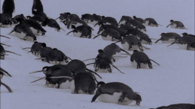 vidéos et rushes de ms, emperor penguins crawling on snow, rear view, antarctica - groupe moyen d'animaux