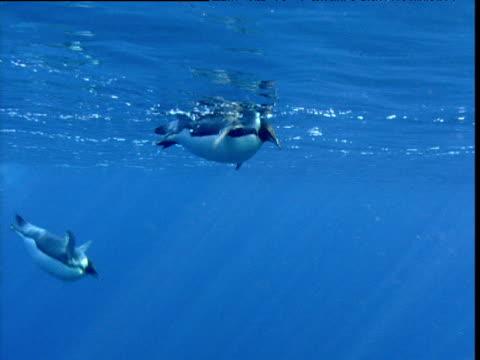 emperor penguins dive, one excretes as it swims from camera, terra nova, antarctica - 泌尿器系点の映像素材/bロール