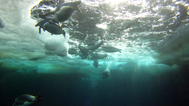 Emperor penguins (Aptenodytes forsteri) diving from sea ice hole, underwater, Cape Washington, Antarctica