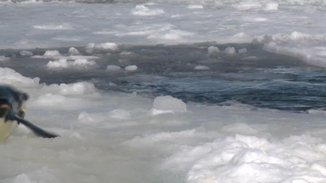 emperor penguins (aptenodytes forsteri) exiting water to camera, cape washington, antarctica - cape washington stock videos & royalty-free footage