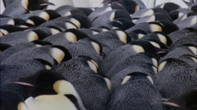 CU, Emperor penguins huddled together on snow, Antarctica