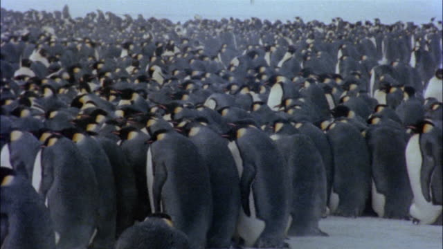 ms, emperor penguins huddled together on snow, rear view, antarctica - large group of animals stock videos and b-roll footage