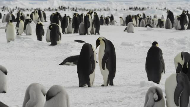 emperor penguins in antarctica - 多数の動物点の映像素材/bロール