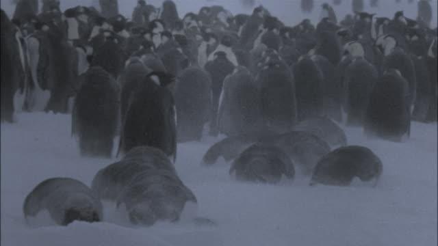 vidéos et rushes de ms, emperor penguins in blizzard, antarctica - groupe moyen d'animaux