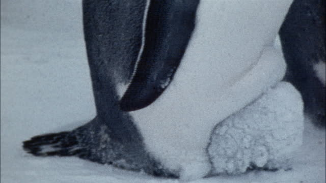 CU, PAN, Emperor penguins incubating eggs on snow, Antarctica,