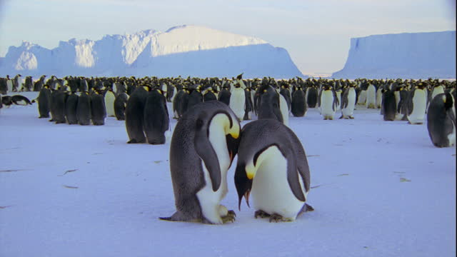 Emperor penguins inspect their egg as they stand on the edge of their colony.