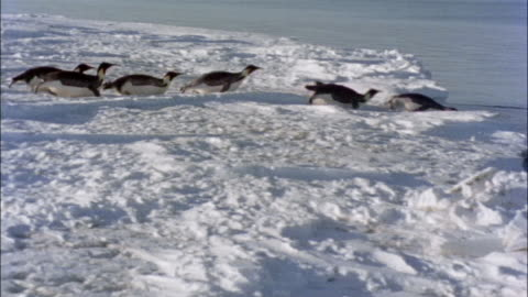 ms, pan, emperor penguins jumping to water, antarctica - sliding stock videos & royalty-free footage