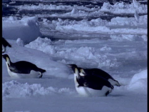 emperor penguins leap from water onto ice, one lands heavily, terra nova bay, antarctica - emperor stock videos and b-roll footage