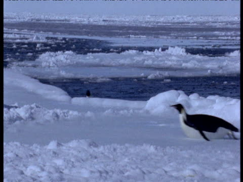 Emperor penguins leap out of water onto ice, one falls back into water, Terra Nova, Antarctica