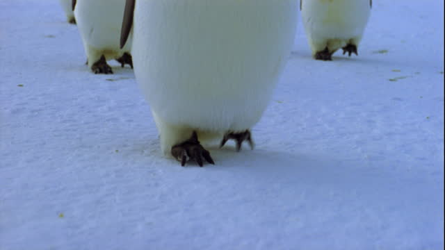Emperor penguins march across the snow.