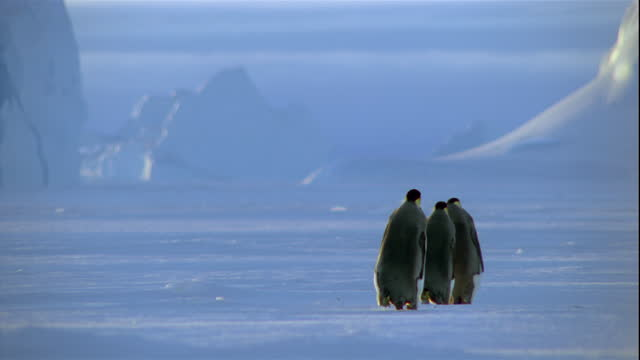 Emperor penguins march in single file across a snowy plain in Antarctica.