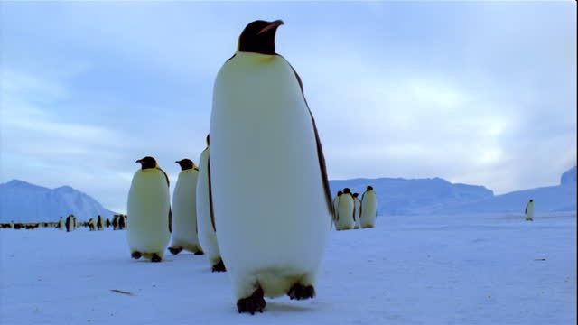 Emperor penguins march in single file across a snowy plain.