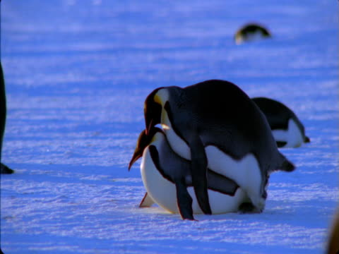 emperor penguins mate in antarctica. - female animal stock videos & royalty-free footage