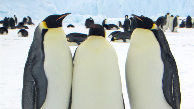 emperor penguins nodding and shaking head - shaking stock videos & royalty-free footage