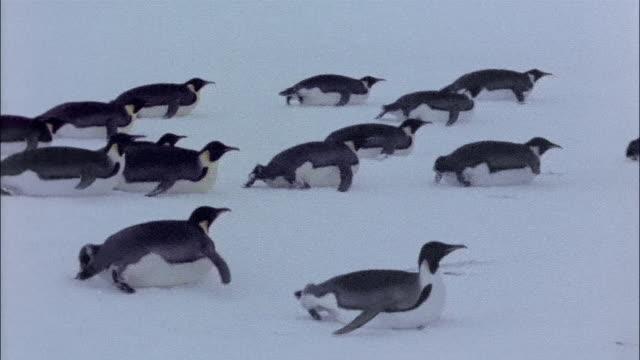 vídeos y material grabado en eventos de stock de ms, pan, emperor penguins on snow, antarctica - grupo mediano de animales