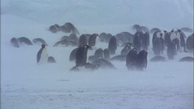 vidéos et rushes de ms, emperor penguins on snow, antarctica - groupe moyen d'animaux