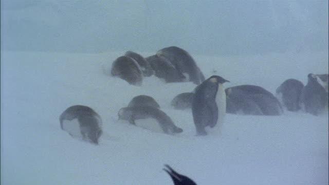 vidéos et rushes de ms, pan, emperor penguins on snow, antarctica - groupe moyen d'animaux
