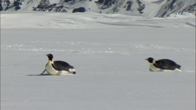 WS PAN Emperor penguins (Aptenodytes forsteri) pair tobogganing / Snow Hill Island, Antarctic Peninsula, Antarctica
