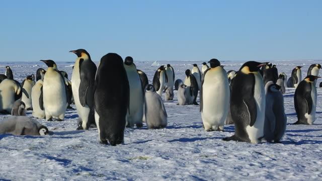 Emperor penguins (Aptenodytes fosteri) part of colony