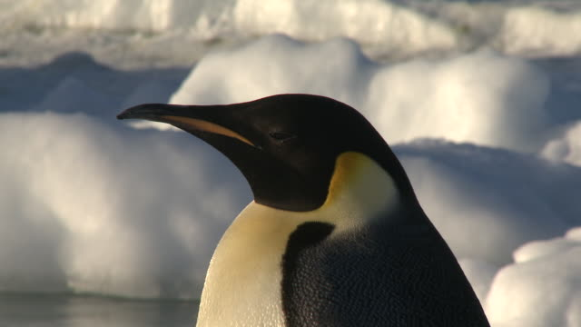 emperor penguins (aptenodytes forsteri) portrait, cape washington, antarctica - audio available stock videos & royalty-free footage