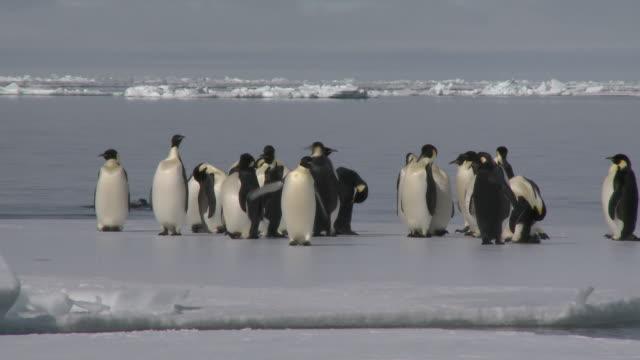 emperor penguins (aptenodytes forsteri) preening at edge of sea ice, some exiting water, cape washington, antarctica - cape washington stock videos & royalty-free footage