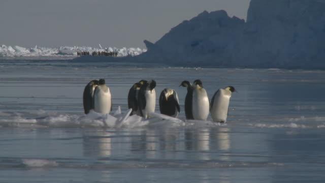 emperor penguins (aptenodytes forsteri) preening on sea ice, cape washington, antarctica - cape washington stock videos & royalty-free footage