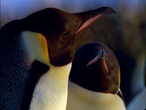 vidéos et rushes de emperor penguins rest in an antarctic colony. - colony