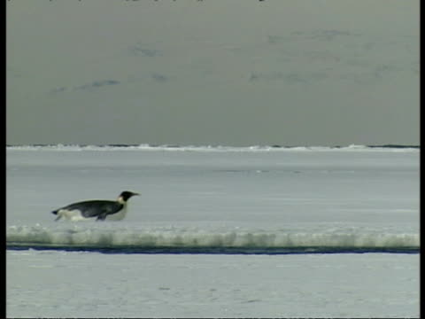 ms emperor penguins sliding across ice on bellies, left to right, antarctica - animal abdomen stock videos and b-roll footage
