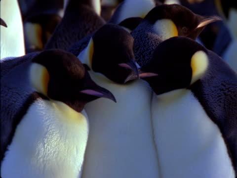 vidéos et rushes de emperor penguins snuggle in an antarctic colony. - colony