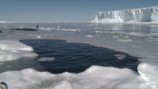 emperor penguins (aptenodytes forsteri) surface and splashing around in holes in sea ice, cape washington, antarctica - cape washington stock videos & royalty-free footage