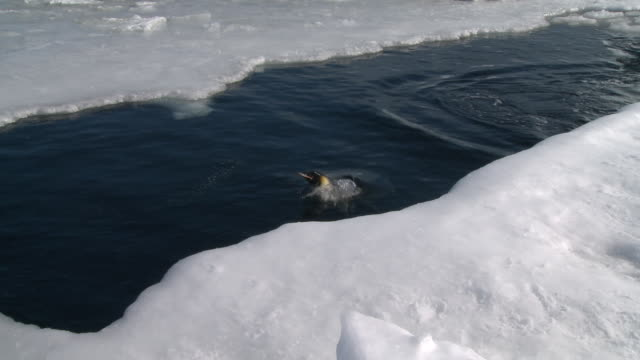 emperor penguins (aptenodytes forsteri) surfacing in hole in sea ice, cape washington, antarctica - cape washington stock videos & royalty-free footage