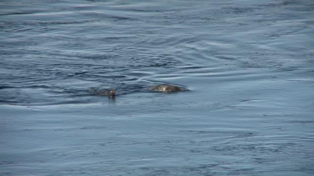 vidéos et rushes de emperor penguins swim in the frigid waters of the antarctic ocean. available in hd. - remonter à la surface