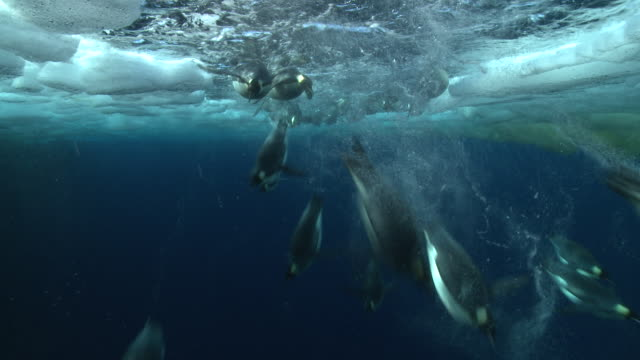 emperor penguins (aptenodytes forsteri) swimming and diving in hole in sea ice with bubble trails, underwater, cape washington, antarctica - cape washington stock videos & royalty-free footage