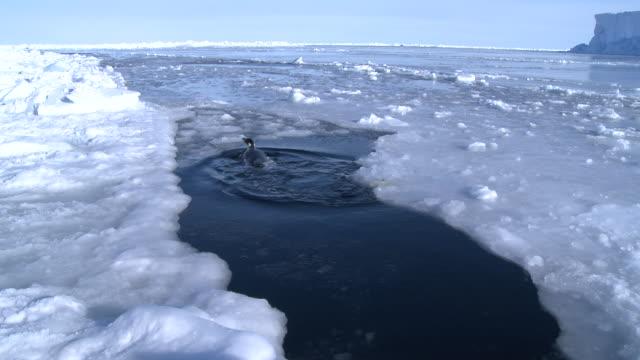 emperor penguins (aptenodytes forsteri) swimming and exiting hole in sea ice, cape washington, antarctica - cape washington stock videos & royalty-free footage