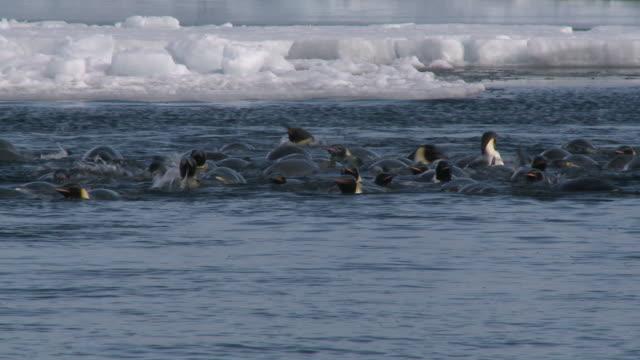 emperor penguins (aptenodytes forsteri) swimming and preening at wide ice hole, cape washington, antarctica - cape washington stock videos & royalty-free footage
