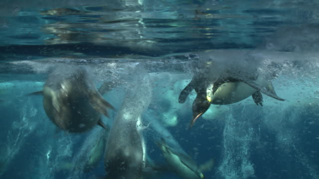 emperor penguins (aptenodytes forsteri) swimming at surface and looking into the depths and diving and surfacing, with bubble trails, underwater, cape washington, antarctica - penguin stock videos & royalty-free footage