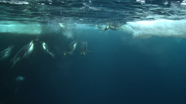emperor penguins (aptenodytes forsteri) swimming at surface and looking into the depths and diving and surfacing, with bubble trails, underwater, cape washington, antarctica - cape washington stock videos & royalty-free footage
