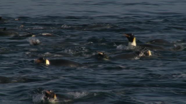 emperor penguins (aptenodytes forsteri) swimming at wide ice hole, cape washington, antarctica - cape washington stock videos & royalty-free footage