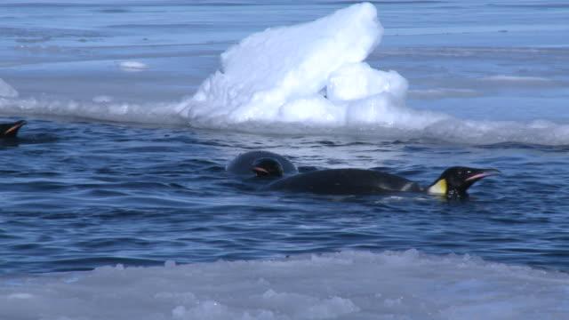 emperor penguins (aptenodytes forsteri) swimming in hole in sea ice, cape washington, antarctica - cape washington stock videos & royalty-free footage