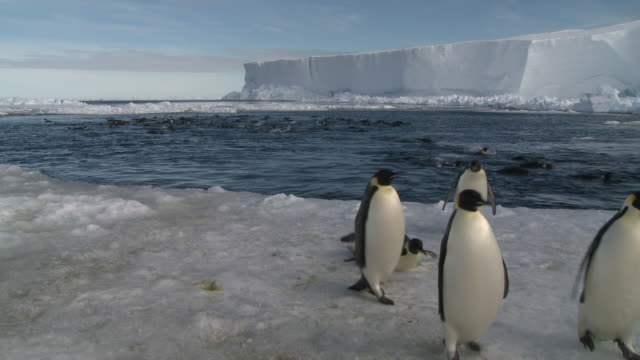 emperor penguins (aptenodytes forsteri) swimming in wide ice hole, some exiting water to camera, cape washington, antarctica - waddling stock videos and b-roll footage