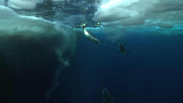 emperor penguins (aptenodytes forsteri) swimming near the ice edge and diving, some bubble trails, underwater, cape washington, antarctica - emperor penguin stock videos & royalty-free footage