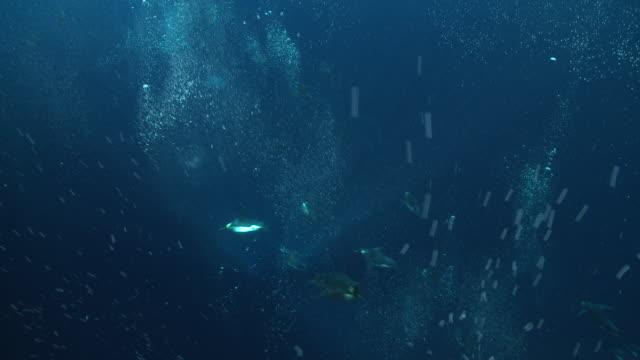emperor penguins (aptenodytes forsteri) swimming under camera, underwater, cape washington, antarctica - cape washington stock videos & royalty-free footage