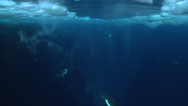 emperor penguins (aptenodytes forsteri) swimming under hole in sea ice, underwater, cape washington, antarctica - cape washington stock videos & royalty-free footage