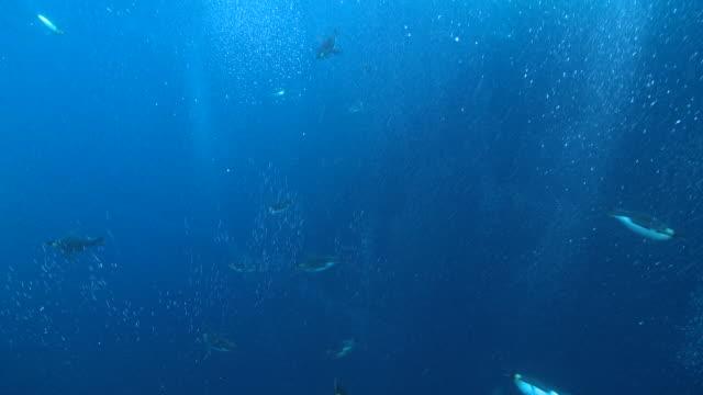emperor penguins (aptenodytes forsteri) swimming with bubble trails, underwater, cape washington, antarctica - 海底点の映像素材/bロール