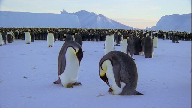 Emperor penguins take care of their egg on the edge of their colony.